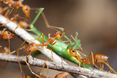 A group of red ants attacking a grasshopper Stock Photography