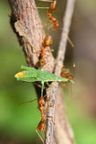 A group of red ants attacking a grasshopper Royalty Free Stock Images
