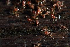 Group of Red Ants helping hands each other to carry food on wood. En floor, macro close up photography, selective focus blur some parts Royalty Free Stock Image