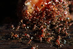 Group of Red Ants helping hands each other to carry food on wood. En floor, macro close up photography, selective focus blur some parts Royalty Free Stock Photos