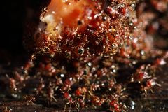 Group of Red Ants helping hands each other to carry food on wood. En floor, macro close up photography, selective focus blur some parts Stock Photos