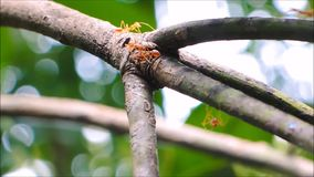 The group of red ants walking on a twig of mango tree. stock footage