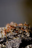 Group of red ants on wood Royalty Free Stock Photos