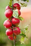 Group of red apples on a branch Stock Image