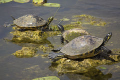 Group of red-bellied cooter turtles in Florida`s Everglades. Royalty Free Stock Photos