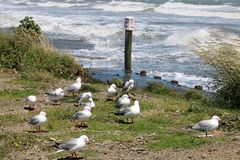 Red-billed gulls larus novaehollandiae by seashore Royalty Free Stock Photography