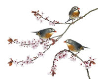 Group of Red-billed Leiothrix perched on a Japanse cherry branch Royalty Free Stock Photography