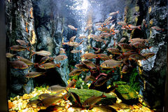 Group of Red cheek barb in tropical tank Stock Images