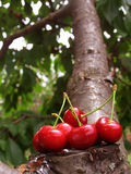 Group of red cherries on cut tree branch. On green background Stock Image