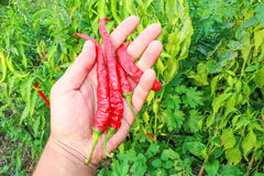 Group of red chilies Royalty Free Stock Image
