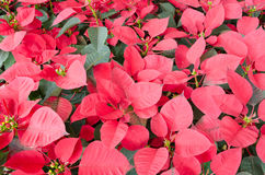 Group of red christmas leaf Royalty Free Stock Images