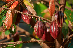 Group of red cocoa pods Stock Photo