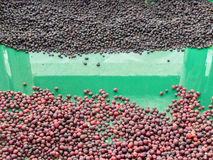 group of red coffee bean and roasted Royalty Free Stock Photo