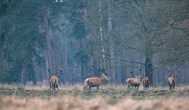 Group of red deer stag in a field walking into forest. Group of red deer stag in field walking into forest. Rear view Stock Photos