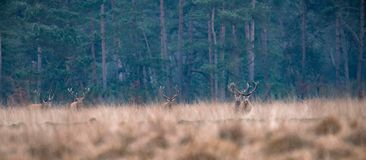 Group of red deer walking in high yellow grass. Pine forest on horizon Stock Photos