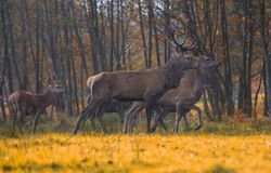 Group of red deers Royalty Free Stock Photo