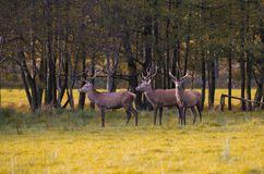 Group of red deers Royalty Free Stock Photography