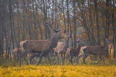 Group of red deers Stock Image