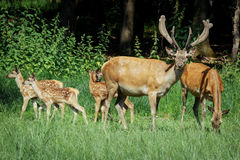 Group of red deers with growing antlers standing on meadow and looking at camera Stock Photo