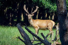 Group of red deers with growing antlers standing on meadow and looking at camera Royalty Free Stock Photos