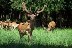 Group of red deers with growing antlers standing on meadow and looking at camera Stock Photos