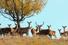 Group of red deers in mating season Royalty Free Stock Image