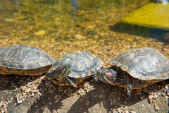 Group Red-eared slider resting on the shore Royalty Free Stock Image