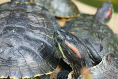 Group of red-eared slider turtles Royalty Free Stock Image