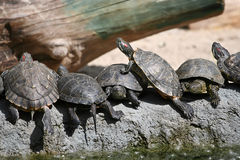 Group of red-eared slider turtles in the zoo. Group of red-eared slider turtles sitting on a stone in the zoo Stock Photos