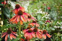 Group of red echinacea Royalty Free Stock Photos