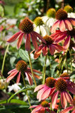 Group of red echinacea Stock Photos