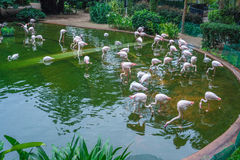 Group of red flamingos in pond Royalty Free Stock Photography