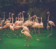 Group of red flamingos Royalty Free Stock Photo