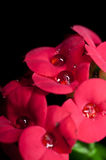 Group of red flowers. And water drop on each of them with black on the background Royalty Free Stock Image