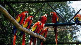 Group of Red-and-green macaw parrots Ara chloropterus sitting on branches in large pavilion and socializing themselves. In african part of ZOO garden stock video