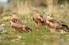 Group of red kites Stock Photography