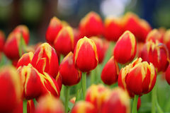 Group of red mixed with yellow tulips Stock Photography