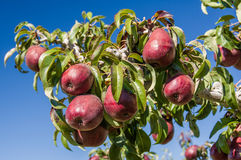 Group of red pears in an orchard Royalty Free Stock Photography