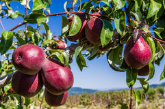 Group of red pears in an orchard Stock Photo