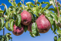 Group of red pears in an orchard Royalty Free Stock Photo