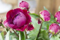 Group of red peony flowers on wooden background Royalty Free Stock Photos