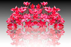 Group of red plumeria flowers Royalty Free Stock Image