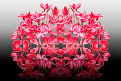 Group of red plumeria flowers Royalty Free Stock Photos