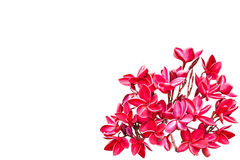 Group of red plumeria flowers Royalty Free Stock Images