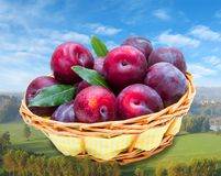 Group of red plums in a basket Stock Photos