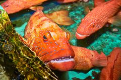 Group of Red Snapper fishes Lapu-Lapu in the Philippines stock image