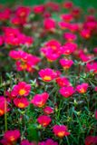 Sunrose. Group of red sunrose or  called ` helianthemum ` in scientific name, selective and soft focus in vignette effect Stock Image