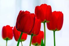 Group of red tulips stock images