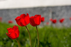 Group of red tulips on a green meadow. Spring flowers tulips in bloom on a green lawn on a sunny day Stock Images