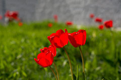 Group of red tulips on a green meadow. Spring flowers tulips in bloom on a green lawn on a sunny day Stock Image
